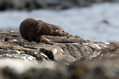 Loutre d'Europe (Fabien Serres) Tags: loutredeurope lutralutra mammifère