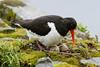 Oystercatcher (Shane Jones) Tags: oystercatcher bird wader nest eggs incubating nature wildlife nikon d500 200400vr
