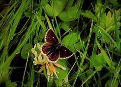 Northern Brown Argus (Fr Paul Hackett) Tags: butterfly herbage wooodland summer