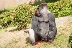 2017-06-05-10h38m33.BL7R6910 (A.J. Haverkamp) Tags: bokito canonef100400mmf4556lisiiusmlens rotterdam zuidholland netherlands zoo dierentuin blijdorp diergaardeblijdorp httpwwwdiergaardeblijdorpnl gorilla westelijkelaaglandgorilla dob14031996 pobberlingermany nl