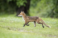 Fox Trot (DTT67) Tags: redfox red fox animals wildlife mammal nature nationalgeographic maryland canon 1dxmkii 500mmii 14xiii