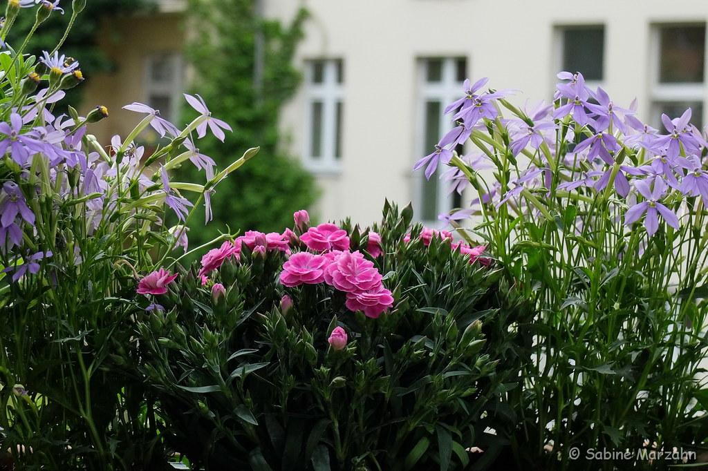 Sommer Auf Dem Balkon   Der Hingucker In Pink (Sockenhummel) Tags: Fuji X30