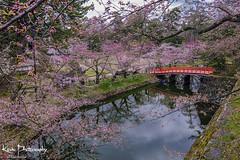 FXT23837 (kevinegng) Tags: japan aomoriprefecture hirosaki hirosakicastlepark sakura cherryblossom 日本 青森県 弘前市 弘前公園 moat river reflection bridge redbridge