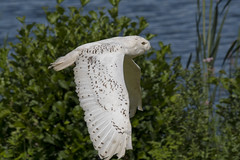 Snowy Owl flight (Margaret S.S) Tags: raptor birdofprey snowy owl inflight flight