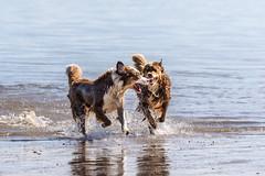 "my shepherd's ""summer time"" (FotoHolst) Tags: 7dmark2 haustier baden strand outdoor wasser dog sheperd australian canon fotoholst schwimmen hund"