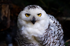 Female Snowy Owl : メスのシロフクロウ (Dakiny) Tags: 2017 summer june japan tokyo hino outdoor nature park city street zoo tamazoo creature animal bird raptor owl snowyowl bokeh nikon d750 sigma apo 70200mm f28 ex hsm apo70200mmf28dexhsm sigmaapo70200mmf28dexhsm nikonclubit