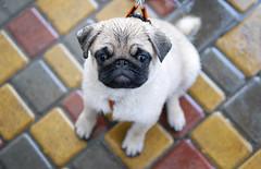 our first rain :) (photoksenia) Tags: dog pet animal pug puppy