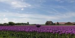 Allium field (peeteninge) Tags: flowers flora allium purple bulbs flowerfield egmondaanzee sonyrx10 sony