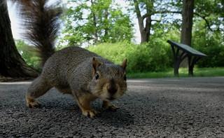 Squirrel, Morton Arboretum. 402 (X70)