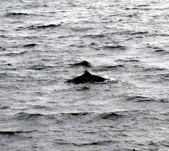 Largs (DarloRich2009) Tags: dolphin porpoise largs anleargaidhghallda firthofclyde northayrshire scotland clyde riverclyde cumbrae greatcumbrae isleofcumbrae cumaradhmòr