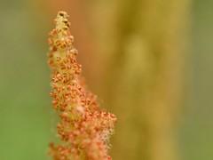 Osmundastrum cinnamomeum (Cinnamon fern) (bryophytography) Tags: fern ferns plants macro nature biology botany cryptogams cryptogam spores