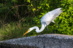 Fishing From Above (hetrickwesley) Tags: 80d canon80d dlsr florida floridastateparks gainesville lachuatrail nature outdoors park paynesprairie wildlife unitedstates us greategret bird large white yellowbill beak fishing sigmalens 150600 contemporary