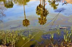03-18 Lake Pit (megatti) Tags: ca california labreatarpits losangeles palmtrees tar tarpit