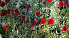 Gelincikler Poppies (mem's) Tags: leica m3 summicron 50 mm f2 rigid kodak portra 160 çine aydın 2017