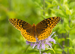 Great Spangled Fritillary (Speyeria cybele) (AllHarts) Tags: greatspangledfritillaryspeyeriacybele spac hollyspringsms butterflygallery naturesspirit thesunshinegroup challengeclubchampions