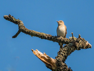 Spotted fly catcher...I think ?