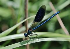 Calopteryx splendens (Hugo von Schreck) Tags: hugovonschreck calopteryxsplendens gebänderteprachtlibelle damselfly insect insekt macro makro canoneos5dsr tamron28300mmf3563divcpzda010 fantasticnature ngc onlythebestofnature