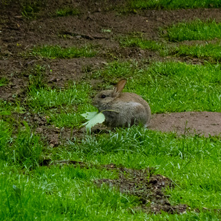 Young rabbit eating sycamore leaf