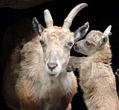 alpine ibex artis BB2A8055 (j.a.kok) Tags: steenbok alpensteenbok alpineibex ibex artis europe europa mammal zoogdier hoefdier dier animal herbivore