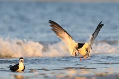 Black Skimmer (Mark Schwall) Tags: nj newjersey markschwallphotographycom birdinflight flight bird nikon rynchopsniger blackskimmer