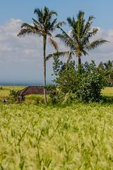 IMG_0593 (Ela&Piotr) Tags: bali indonesia indonezja jatiluwih ricefields