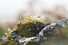 Scotland 2017 (agnes.saabythomsen) Tags: roadtrip turmedjannik makro macro drips drops rain regn dråber mos sten hermitagecastle flickrheroes