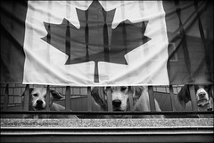 """6-12 Agnes """"the Canadian club"""" (Dave (www.thePhotonWhisperer.com)) Tags: 12monthsfordogs agnes mutt mixed breed god goldenretriever golden brittanyspaniel brittany canada flag"""