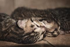 Kitten New Born (Đông Trang) Tags: cat kitty kitten newborn kittennewborn babycat animals animal