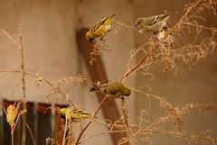 HERMOSOS VISITANTES (su-sa-ni-ta) Tags: pajaritos pajaros color visitantes domingo junio birds visitors sunday june cordoba argentina nature naturaleza hoy flickr fotografias