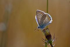 Polyommatus icarus (jotneb) Tags: natureza borboletas insectos lepidoptera vidaselvagem portugal primavera arlivre lycaenidae