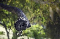 (ahorasoywalter) Tags: rama arbol seco corte cáscara natural