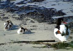 Having a nap (stuartcroy) Tags: orkney island shelduck duck duckling ducks beautiful shore