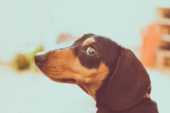 Do you know who I am??? (Mrs Mooo) Tags: dachshund d5000 dog sausagedog slinky 35mm eyes cute puppy ears nikond5000 nikon pets animals love poser georgeous beautiful nose retro vintage weinerdog hotdog pawsome lightroom adobe model