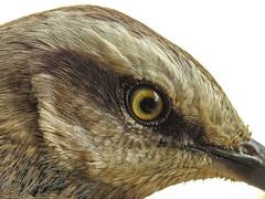 Mimus saturninus (Aisse Gaertner) Tags: mimussaturninus birdwatching bird brazil birdwatcher blinkagain birds p900 nikon ngc macro m3358 coolpix eye feathers