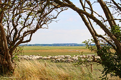 Baie de Somme - Moutons de prés-salés (roland dumont-renard) Tags: baiedesomme somme picardie lecrotoy stvaléry pâturages moutons préssalés