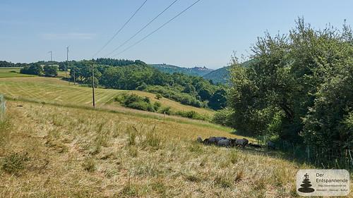 Schafe und am Horizont Neuleiningen - Wandern auf dem Leininger Burgenweg
