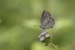 迷你藍灰蝶/迷你小灰蝶 Zizula hylax (Fabricius, 1775) (Sam's Photography Life) Tags: 生態 自然 昆蟲 微距 百微 攝影 1dx 100mm 1d marco mraco nature butterfly 蝴蝶 迷你藍灰蝶 灰蝶 藍灰蝶