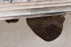 Honey bee colony (Ratan Sarkar) Tags: honeybee nature collectivity gathering