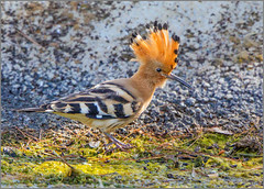 Hoopoe - Upupa epops (Warrener) Tags: eurasianhoopoe upupaepops mallorca majorca balearic islands
