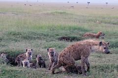 The Hyena Den. Masai Mara. (welloutafocus) Tags: hyena cubs masaimara africa safari predator family