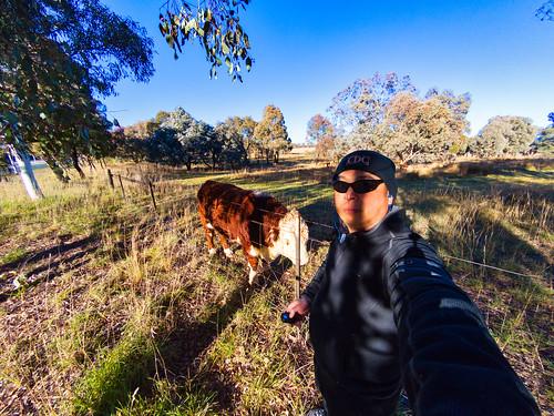 Lake Ginninderra cow selfie