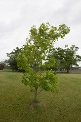 Young Red Oak Tree (marylea) Tags: oak tree young may24 2017 green redoak