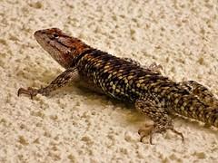 20170620 Lizard on the hot wall -  Desert Spiny Lizard (Sceloporus magister) (lasertrimman) Tags: 20170620 lizard hot wall lizardonthehotwall desertspinylizard sceloporusmagister 20170623 desert spiney with cock roach lunch desertspineylizard cockroachlunch