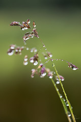 After the rain (HMM) (Coisroux) Tags: macromondays flowers wildflowers rain raindrops droplets delicate cobweb tiny intricate dainty finesse infinite hmm dripsdropsandsplashes d5500 nikond drops drips