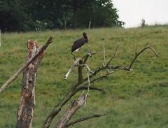 Schwarzstorch (michaelmueller410) Tags: ciconia nigra storch vogel gros baum toter wiese bäume rot bird black storck tree watch outlook