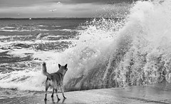 confrontation (photoksenia) Tags: sea street dog waves storm blackandwhite bw odessa ukraine monochrome animal water