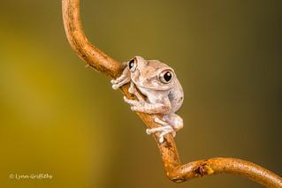 Big-Eyed Tree Frog D50_8214.jpg