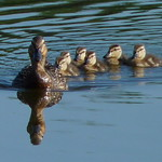 Mallard ducklings thumbnail