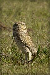 (luciapalmeiro) Tags: coruja owl olhar