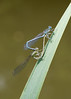 White-legged Damselfly (chaz jackson) Tags: platycnemispennipes whiteleggeddamselfly damselfy insect dragonfly odonoptera nature macro